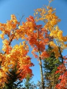 tall trees fall leaves